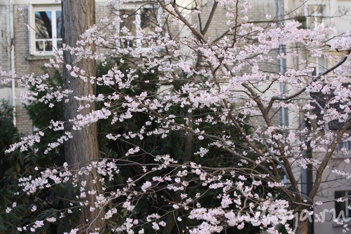 Цветущее дерево в Париже